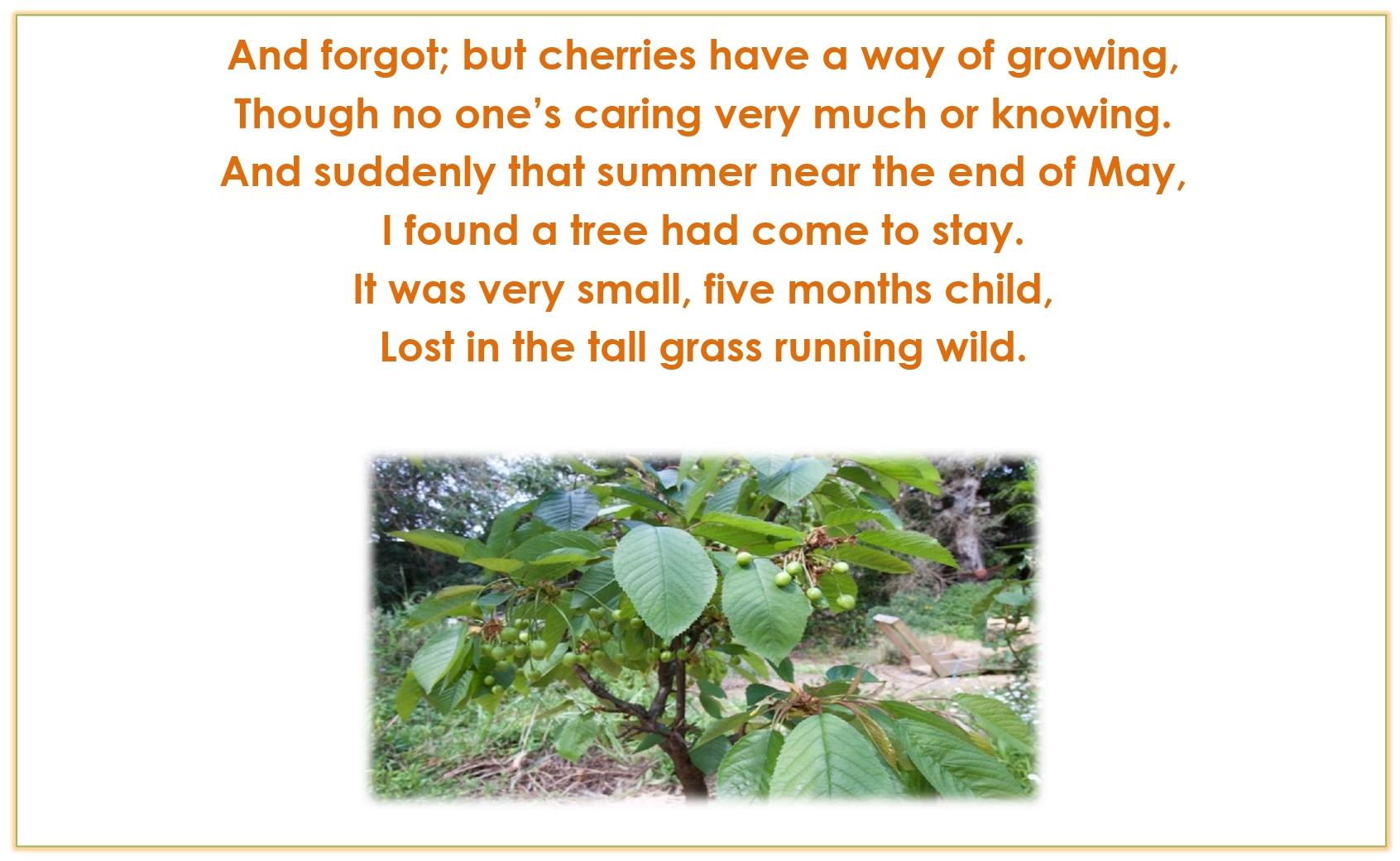 Std.11=Poem-CHERRY TREE-A Pictorial Presentation2_page-0007